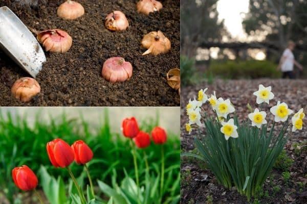 planting bulbs tulips and daffodils growing